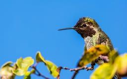 安娜` s蜂鸟在树栖息 免版税图库摄影