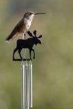 安娜` s蜂鸟坐公牛麋windchime 库存图片
