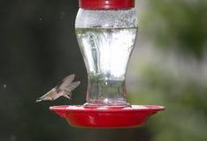 安娜` s蜂鸟 库存图片