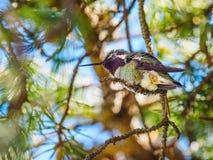 安娜` s蜂鸟 免版税图库摄影