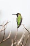 安娜` s蜂鸟 库存照片