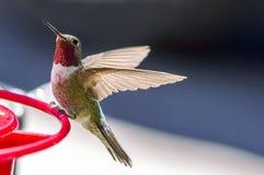 安娜` s蜂鸟 免版税库存图片