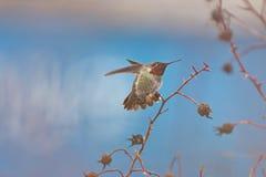 安娜` s蜂鸟Calypte安娜 免版税库存照片