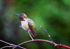 安娜` s蜂鸟IX 库存照片