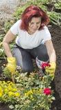 安排花匠她的smilling妇女的玫瑰 免版税库存图片
