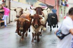 安普埃罗,西班牙- 9月08 :公牛和人们在街道跑在节日期间在安普埃罗,庆祝2016年9月08日 免版税图库摄影