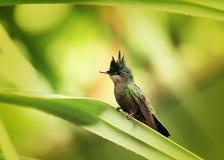 安替列斯群岛有顶饰蜂鸟 库存图片