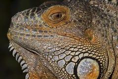 安替列斯群岛鬣鳞蜥较少 免版税库存照片