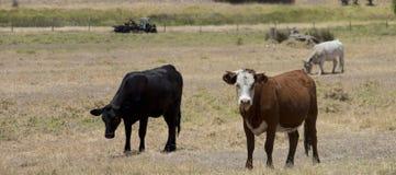 黑安格斯和褐色操舵在小牧场 免版税库存照片