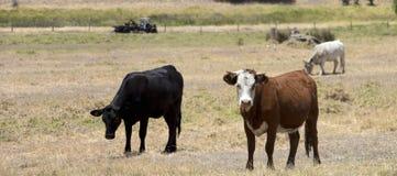 黑安格斯和褐色操舵在小牧场 免版税图库摄影