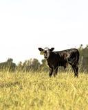 安格斯杂种小牛-垂直 图库摄影
