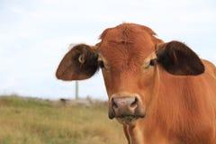 安格斯横渡与牧场地的婆罗门牛在背景中 免版税库存图片