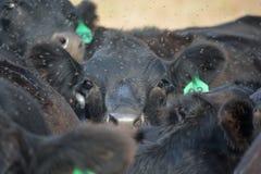 黑安格斯母牛努力看在牧群 库存照片