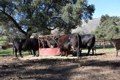 安格斯母牛和小牛的饲养时间 免版税库存照片