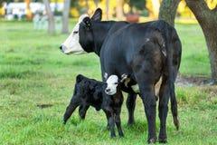 安格斯母牛和小牛 免版税库存照片