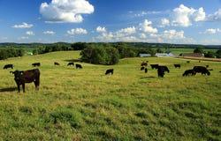 黑安格斯牛在牧场地 免版税库存图片