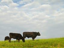 安格斯牛肉黑牛 库存照片