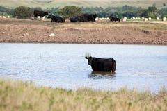 安格斯黑色母牛池塘 免版税图库摄影