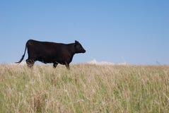 安格斯黑色母牛 免版税库存图片