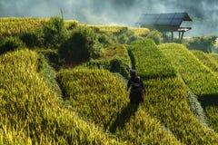 安沛市,越南- 2017年9月18日:在收获季节的露台的米领域与领域的少数族裔妇女在Mu Cang柴, vi 库存图片