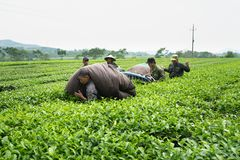 安沛市,越南- 2016年9月16日:工作在茶园的工作者在范陈区 库存照片