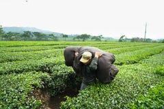 安沛市,越南- 2016年9月16日:工作在茶园的工作者在范陈区 免版税库存图片