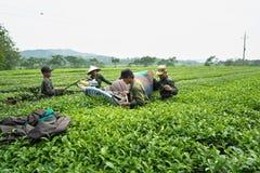 安沛市,越南- 2016年9月16日:收获茶的工作者由在茶园的切割机在范陈区 免版税库存图片