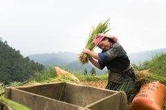 安沛市,越南- 2016年9月17日:越南在露台的领域的少数族裔妇女打谷的稻在收割期在Mu Cang 库存图片