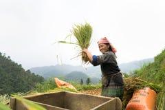 安沛市,越南- 2016年9月17日:越南在露台的领域的少数族裔妇女打谷的稻在收割期在Mu Cang 免版税图库摄影