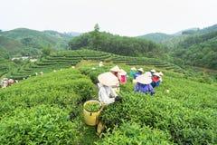 安沛市,越南- 2016年9月18日:采摘茶叶的越南妇女在一个茶园在范陈区 库存图片