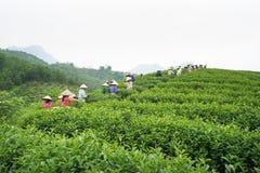 安沛市,越南- 2016年9月18日:采摘茶叶的越南妇女在一个茶园在范陈区 免版税图库摄影