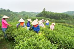 安沛市,越南- 2016年9月18日:采摘茶叶的越南妇女在一个茶园在范陈区 库存照片