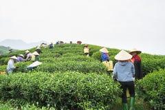 安沛市,越南- 2016年9月18日:采摘茶叶的越南妇女在一个茶园在范陈区 图库摄影