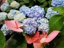 安祖花和八仙花属花束 库存照片