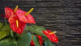 安祖花:安祖花红色,心形的花  免版税图库摄影