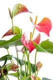安祖花 在轻的背景的美丽的花 免版税库存图片