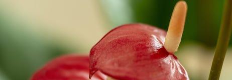 安祖花-红色彩斑芋 免版税库存照片
