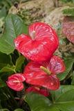 安祖花andraeanum红色花在庭院里 免版税图库摄影