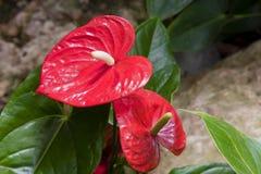 安祖花andraeanum红色花在庭院里 库存照片