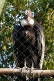 安第斯秃鹰的女性在一只笼子的在动物园 免版税库存照片