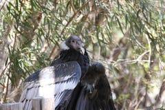 安第斯秃鹰& x28; 秃鹰gryphus& x29; 图库摄影