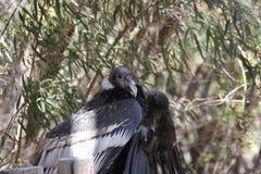 安第斯秃鹰& x28; 秃鹰gryphus& x29; 库存照片