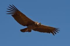 安第斯秃鹰gryphus拉丁命名秃鹰 图库摄影