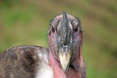 安第斯秃鹰gryphus拉丁命名秃鹰 库存照片