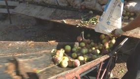 安置从大袋的苹果在传送带 股票视频