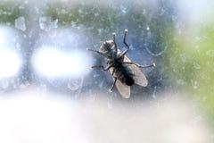 安置在肮脏的挡风玻璃的飞行, Chrysomya megacephala Fabricius,苍蝇座domestica,飞行传染病 库存照片