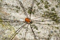 安置在水泥墙壁上的家庭蜘蛛有绿色纹理的 库存图片