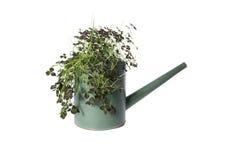 安置植物在喷壶,在白色隔绝的植物 库存图片