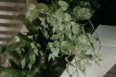 安置植物,草,在窗口附近的绿色 客厅或咖啡馆,餐馆,办公室室内设计生活方式  免版税库存照片