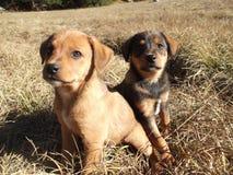 安装在草的两只无忧无虑的小狗 库存图片